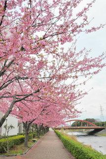Rose_sakura04