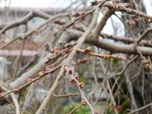Sakura_haname04
