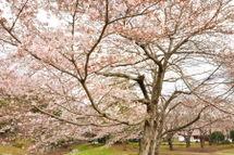 Sakura20090328_02
