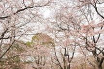 Sakura20090328_07