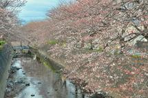 Sakura20090328_11
