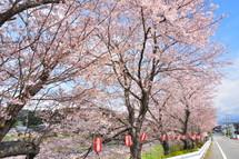 Sakura20100327b