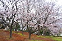 Sakura20100327f