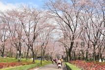 Sakura20100327g