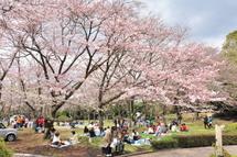 Sakura20100327h