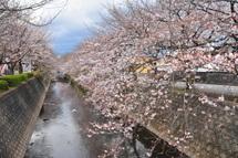 Sakura20100327i