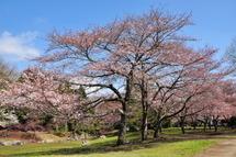 Sakura20100327l