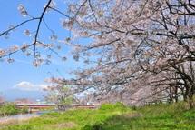Takigawa_sakura04