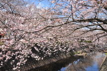 Yoshiwara_sakura03