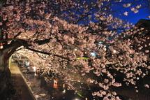 Yoshiwara_sakura09