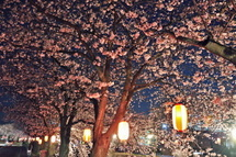 Yoshiwara_sakura10