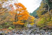 Hinoki_kouyou07
