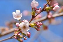 Sakura20110326b