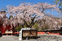 Sengen_shidare02