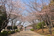 Sakura20110402b