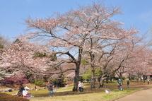 Sakura20110402c