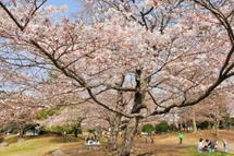 Sakura20110402d