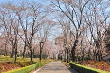 Sakura20110402e