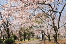 Sakura20110402g
