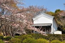 Sakura20110402h