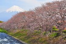 Sakura20110402i