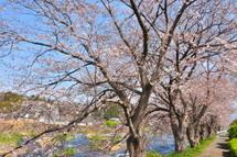 Sakura20110402j