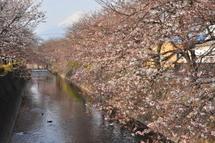 Sakura20110402k