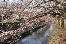 Sakura20110402l