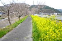 Utsubusa_sakura02