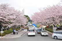 Sakura20110410a