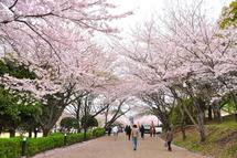 Sakura20110410b