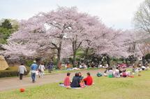 Sakura20110410d