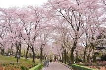 Sakura20110410e