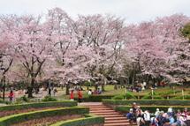 Sakura20110410f