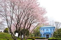 Sakura20110410h