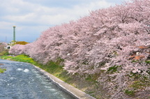 Sakura20110410i