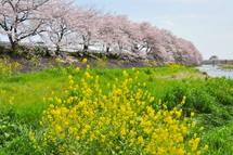 Sakura20110410j