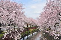 Sakura20110410k