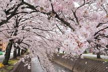 Sakura20110410l