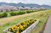 Sakura20110410m