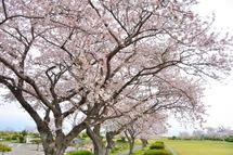 Sakura20110410n