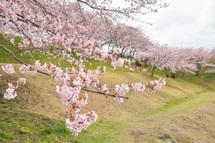 Fujinidai_sakura2011b