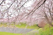 Fujinidai_sakura2011c