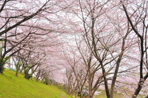 Fujinidai_sakura2011d