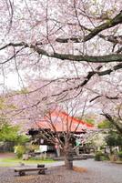 Myozenji_sakura2011c