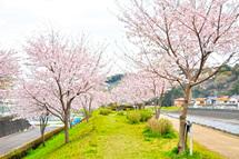 Tenma_sakura2011d