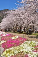 Kawaguchiko_sakura04