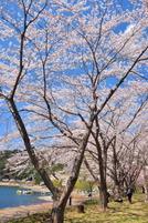 Kawaguchiko_sakura07