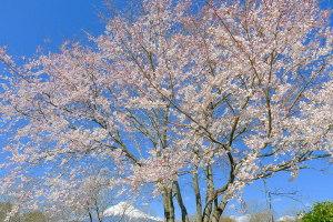 Hiromi_usuzumisakura02