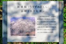 Hiromi_usuzumisakura05